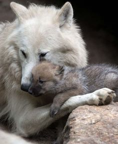 At the Berlin Zoo in Germany, a wolf pup is seen snuggling up to its mother in their enclosure. Arent they adorable? At the Berlin Zoo in Germany, a wolf pup is seen snuggling up to its mother in their enclosure. Arent they adorable? Wolf Love, Animals And Pets, Baby Animals, Cute Animals, Wild Animals, Strange Animals, Wolf Spirit, Spirit Animal, Wolf Pictures