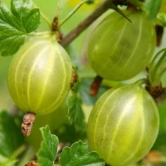 """Found in many Ayurvedic traditions, triphala means """"three fruits"""". It can be used as a detoxifying agent and bowel tonic as well as a digestive agent by promoting peristalsis. Triphala can also be used as a powerful antioxidant and help to support healthy respiratory, cardiovascular, urinary and nervous system functions. The three fruits involved in make triphala include amalaki, bibhitaki, and haritaki. Amalaki has a cooling effect that manages the pitta dosha. Bibhitaki is good for the…"""