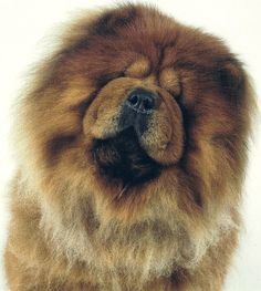 Chow Chow, my favorite dogs Cute Puppies, Cute Dogs, Dogs And Puppies, Big Dogs, Animals And Pets, Baby Animals, Cute Animals, Mundo Animal, My Animal