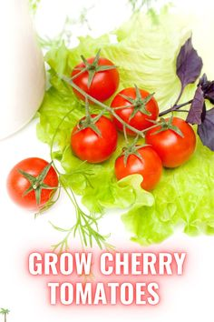 GROW CHERRY TOMATOES. Cherry tomatoes are bite-sized fruit that becomes mature within 45 to 80 days. The maturity periods depend upon the variety in which you are growing in the greenhouse. Growing Cherry Tomatoes, Grow Tomatoes, How To Grow Cherries, Starting A Vegetable Garden, Maturity, Growing Vegetables, Veggies, Fruit, Food