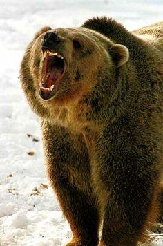 Google Image Result for http://4.bp.blogspot.com/_wuNR6hNZFFM/S9mkCC9E4SI/AAAAAAAAErc/HvIEQUpoKKs/s1600/angry-bear.jpg