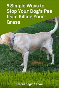 Yellow grass from dog pee? Learn how to keep dog pee from turning your grass yellow. Rescue Puppies, Dog Urine, Dog Pee, Puppy Training Tips, New Puppy, Simple Way, Turning, Your Dog, Grass
