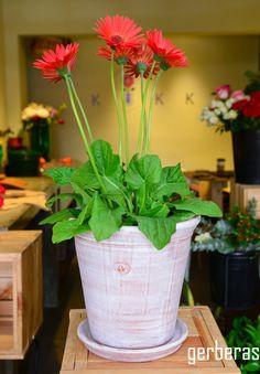 #plantas #macetas #barro #artesanal #mx #floreria #gerbera