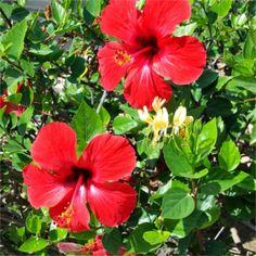 Indicador natural ácido base con flor de hibisco