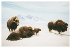 What Kinds Of Animals & People Live In The Arctic Region? Hello America, Musk Ox, Highland Cattle, Woods Photography, Wedding Season, Farm Animals, Arctic, Wildlife, Creatures