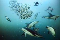 Delfíni jsou výrazně společenští tvorové aspolupracují při důmyslných loveckých strategiích. Plískavice tmavé ubřehů Patagonie nahánějí ančovičky doúhledného kulovitého hejna apotom se střídají při jejich požírání.