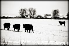 Backyard cows in the snow!
