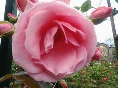 Pink rose @ groningen