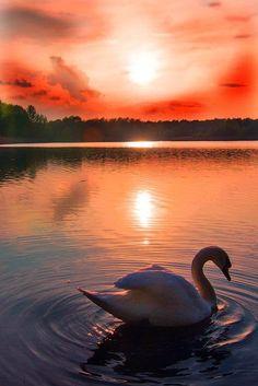 Swan at sunset in Hellersdorf, Berlin, Germany