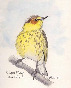 Cape May Warbler . Step By Step Watercolor, Easy Watercolor, Watercolor Animals, Watercolor Paintings, Watercolors, Cape May, Nature Journal, Watercolor Techniques, Wildlife Art