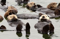 """A group of around 40 sea otters were snapped resting on their backs by wildlife photographer Michael Yang. He says: """"While resting, each otter seems to have its own peculiar way of arranging its paws. Some otters put their paws on their chest, some cover their eyes, and some put their paws straight up as if they were signalling a touchdown. This is just one example of anthropomorphic characteristics which make the sea otters so enjoyable to watch and why people label sea otters as cute."""""""