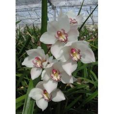 Cymbidium Beauty Fred 'Marione' Hybrid Orchid Plant [CYM02] by LarrysOrchids.com. $8.95. Cymbidium Beauty Fred 'Marione' (Cymbidium Vanguard x Cymbidium Fred Stewart) This mericloned orchid is prized for its long-lasting sprays of white flowers with some red spotting in the center, used especially as cut flowers or for corsages in the spring. These are standard Cymbidiums and require cool nights in the fall to bloom heavy in February thru April. Our sale Cymbidiu...