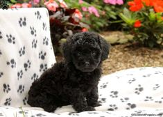Dawn, Toy #poodle Puppy