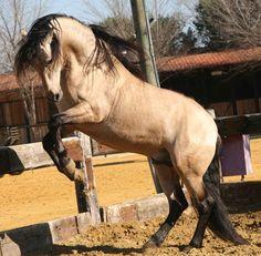 buckskin horse   ... animals, buckskin, horses, iberian horse, lusitanian horse, portugal