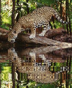 """A onça-pintada, também conhecida como jaguar, é o terceiro maior felino do mundo, atrás do tigre e do leão, e é o maior do continente americano. Como a maioria dos grande felinos, as onças são solitárias e preferem caçar ao entardecer, ou à noite. As onças estão sendo extintas em muitas regiões devido à perda de habitat em florestas tropicais da América do Sul e da caça pela sua pele. A onça segue uma dieta adorada pela maioria dos grandes felinos, conhecida como """"feast or famine""""."""