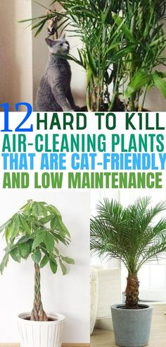 Indoor Plants that Clean the Air and are Safe for Cats Plants that clean air and are pet friendly. These indoor plants are safe for cats.Plants that clean air and are pet friendly. These indoor plants are safe for cats.