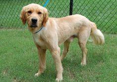 Blitz-15-146 | M | 1 YR — Golden Retriever Rescue of North Texas Golden Retriever Rescue, Dog List, Dog Pictures, Texas, Dogs, Animals, Animais, Animales, Animaux