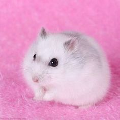 Information About Winter White Dwarf Hamster Care and Facts #HamsterCare