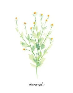Herb Print With Label Watercolor Chamomile by WatercolorPaperie