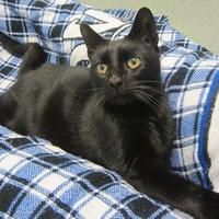 Pictures of Noir a Domestic Shorthair for adoption in Franklin, IN who needs a loving home.