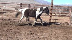 Black tobiano BLM Mustang
