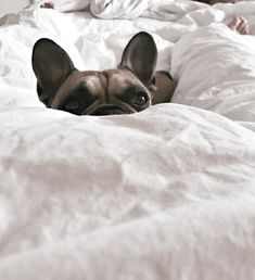 """""""Hey, when you gettin' up?"""", French Bulldog in bed on Sunday Morning."""