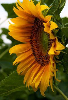Sunflower fiori pinterest girasoli disegno ritratti for Piantare girasoli