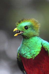 Quetzalcoatl Photograph - Resplendent Quetzal Portrait by Bruce J Robinson