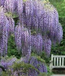 Make your wisteria bloom... this article talks about growing wisteria in Ontario and what one works best for flowering