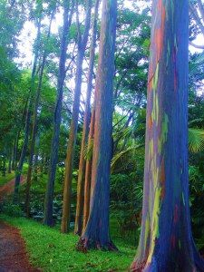 Eucalyptus deglupta is a tall tree, commonly known as the rainbow eucalyptus, Mindanao gum, or rainbow gum. It is the only Eucalyptus species found naturally in the Northern Hemisphere. L Eucalyptus, Unique Trees, Colorful Trees, Eucalyptus Species, Rainbow Eucalyptus Tree, Weird Trees, Tree Bark, Beautiful Landscapes, Still Life