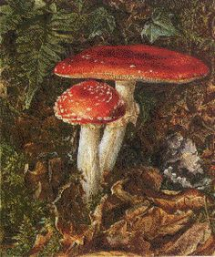 An illustration by Beatrix Potter, these white spotted red mushrooms are so pretty (if a bit dangerous!).