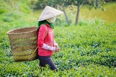 Local women with vietnamese conical hat and carry basket on the tea field, Lam Dong province, Vietnam Stock Photo