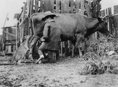 1911 : A man giving milk straight from the cow to a thirsty wallaby in Queensland, Australia Old Photos, Vintage Photos, Cowboy Horse, Queensland Australia, Australia Photos, Melbourne Australia, Wild Nature, Tasmania, Historical Photos
