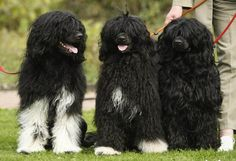 Portuguese Water Dogs, which one do you wanna have? Me, all of them!