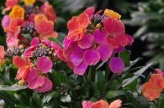 Erysimum Winter Passion | Horticultural Marketing Associates