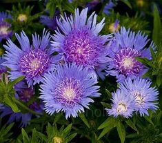 Stokesia laevis 'Blue Star' - S-T - A-Z Botanical Name - Flowers Seeds
