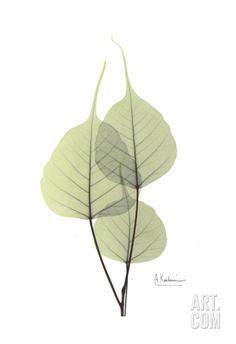 Bo Tree in Pale Green II Art Print by Albert Koetsier at Art.com