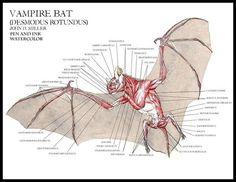 Resultado de imagen para anatomy bat