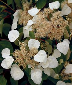 Schizophragma, Moonlight Seeds and Plants, Flowers at Burpee.com