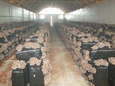 cultivo de seta de ostra (orellana) de color gris oscuro y de invierno