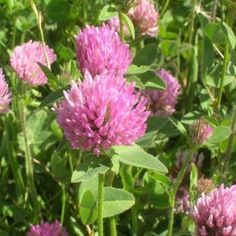 Clover. White or red (red is more nutritious) The whole plant can be eaten. Roots should be cooked.