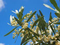 Les fleurs d'Olivier respirent la vitalité, ce à quoi leur élixir floral donne accès !