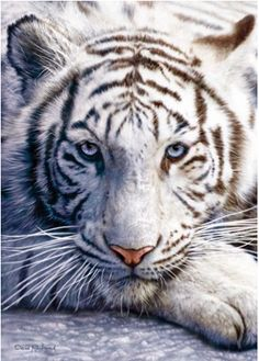 turquoise eyes on white tiger