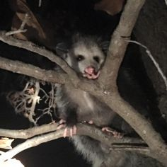 Nighttime photo of a possum in a tree - Katin Donally
