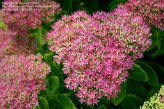 Showy Stonecrop Hylotelephium spectabile- Sedum