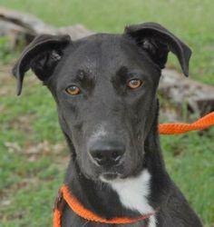 07/16/14 sl ~Mandy ~Labrador Retriever  German Shepherd Dog Mix • Adult • Female • Large Canyon Lake Animal Shelter Society Canyon Lake, TX