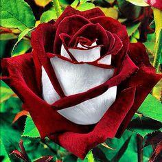 Osiria Rose from outdoortheme.com