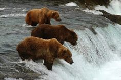 Brown bears fishing for salmon await hikers on Brooks Falls Trail