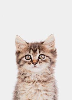 « Kitten II » par Paws & Claws | #Animaux #Chats #Animauxdomestiquesetdelaferme #Artpourenfants #Gris #Marron #JUNIQE | Plus daffiches sur www.juniqe.fr Kitten Photos, Dads, Poster, Portrait, Designs, Kid Friendly Art, Event Posters, Cat Breeds, Animaux