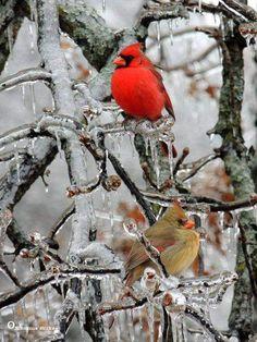 Red birds remind me of my Mother! Pretty Birds, Love Birds, Beautiful Birds, Animals Beautiful, Beautiful People, State Birds, Cardinal Birds, Backyard Birds, Nature Decor